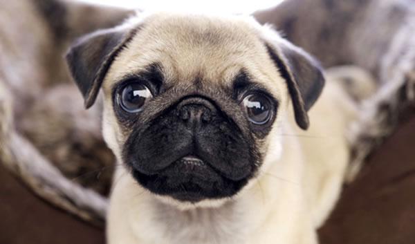 Dog - Adopt a Pug