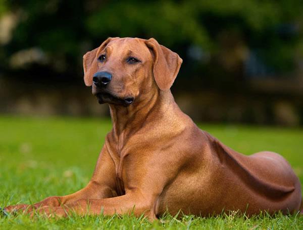 Adopt a Rhodesian Ridgeback Dog