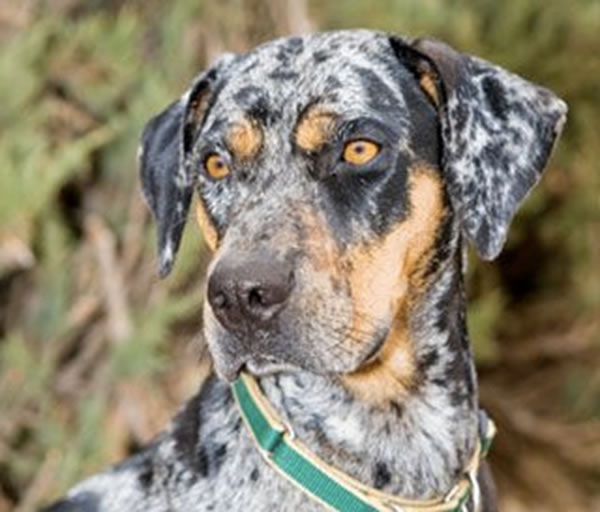 Adopt a Catahoula Curs Dog