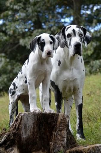 Adopt a Great Dane