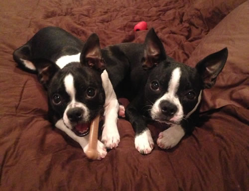 Boston Terriers Gin and Tonic